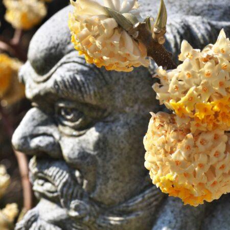 羅漢とミツマタの花 ― 千葉県 ティムドラゴンさん